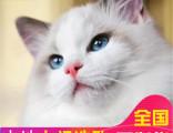 哪里有布偶猫卖布偶多少钱包健康送货上门