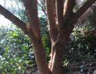 桂花树(金桂)出售
