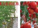 厂家直销供应西红柿市场 巧棵力颗粒水溶肥