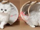 成都哪里有卖金吉拉宠物猫 纯种金吉拉价格