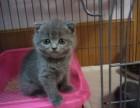 纯种英国蓝短猫2000元