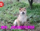 高品质 日系秋田犬宝宝尊贵品质高端伴侣犬 护卫犬