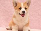 乌鲁木齐附近哪里有正规犬舍卖柯基犬的 纯种柯基犬一般多少钱一