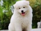 出售纯种萨摩耶幼犬出售 萨摩耶活体 第三方担保交易