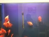 红鹦鹉鱼,招财鱼