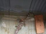 50公分长鳄鱼