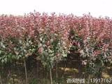 红叶李种植基地直销价格,红叶李多少钱一棵