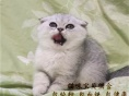 短毛幼猫,猫舍繁殖,健康纯种,品质保障