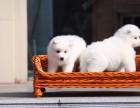 石家庄哪里有宠物狗卖萨摩耶 的天使般的笑容萨摩耶宝宝