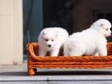 中山市哪里有宠物狗卖萨摩耶 的天使般的笑容萨摩耶宝宝