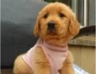 枫叶系金毛寻回犬、 温顺体贴 高端儒雅伴侣犬