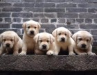 江门哪里有卖拉布拉多狗 纯种拉布拉多宠物狗