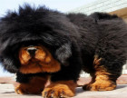 猛犬藏獒出售包健康证书齐全签协议