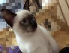 1岁公暹罗猫