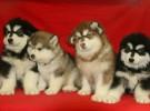 长沙狗狗之家长期出售高品质 阿拉斯加 售后无忧