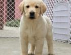 如果你真的爱狗 想养条好狗 拉布拉多在等待着