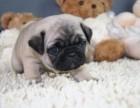 家庭繁殖精品巴哥犬,白色,灰色都有,签合同包三个月