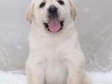 北京西城犬舍出售拉布拉多幼犬价格