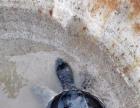转让大型乌龟