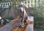 中国纯种大丹幼犬出售 欧洲进口名血大丹种犬繁殖