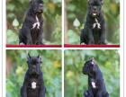 精品高品质双血统卡斯罗犬 皇家护卫犬 认证
