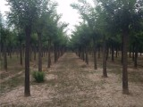 长年出售30公分皂角树 实惠