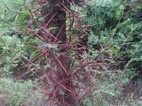 山西哪里有皂角苗,皂角树苗,5公分皂角树多少钱一棵