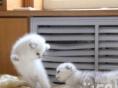 家养折耳幼猫一窝出售 公母都有 疫苗驱虫已做