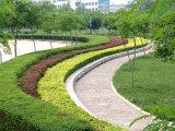 国槐种植基地——山东绿化苗木供应基地