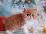 多只精品加菲貓寶寶疫苗驅蟲已做好喜歡就速速下單