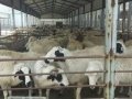 出售 牛犊 羊羔 小驴驹肉羊 肉牛肉驴免费送