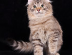 繁育级加菲猫DDMM-带繁育权证书包纯包健康