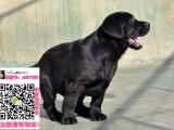 太原拉布拉多狗市场 太原拉布拉多价格 太原拉布拉多哪里去买