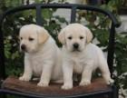 重庆拉布拉多犬出售 上门挑选 品质保障 纯种健康