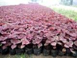 山西彩叶草价格 优质的彩叶草推荐