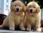 温顺热情的伴侣犬金毛宝宝出售 保健康保品质