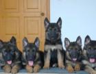 宁波那里有黑背犬卖 宁波黑背犬价格 宁波黑背犬多少钱