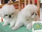 京巴幼犬,京巴多少钱一只