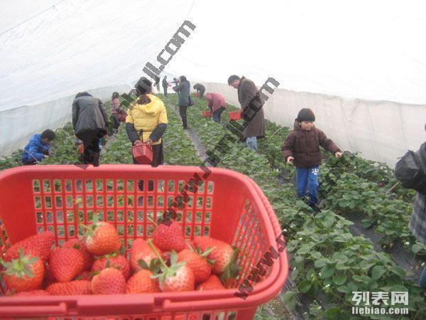 上海浦东农家乐 冬季采草莓 送桔子 钓鱼烧烤乐无穷