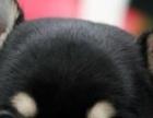 出售可爱苹果头吉娃娃犬 纯种健康 体型娇小 签订协