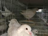 信阳种鸽培育基地 价格优惠 包回收上门