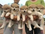 东莞东坑出售宠物狗,秋田幼犬狗狗出售,包纯种,包健康