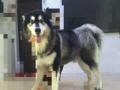 阿拉斯加雪橇犬精品