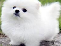 纯种博美幼犬 小型茶杯犬 小狗宠物活体袖珍犬