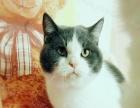 本市家养赛级蓝白色短毛猫出售