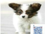 蝴蝶犬一般多少钱 哪里有卖蝴蝶犬的