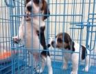 武汉售比格犬幼犬 米格鲁猎兔犬疫苗驱虫已做可挑选
