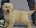 中国较大双血统金毛犬繁殖基地 可实地考察