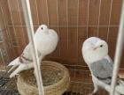 眼睛球 俄罗斯 芙蓉马甲 栏杆 麻背 点子等观赏鸽出售