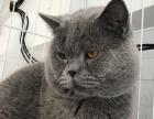 缅因幼猫成猫出售